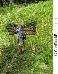рис, выращивание