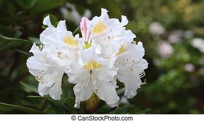 рододендрон, цветок, wind., центр, большой, рамка, вверх, дрожь, закрыть, белый