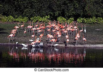 род, phoenicopteridae, семья, только, flamingoes, wading,...