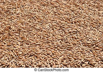 рожь, зерно, крупным планом