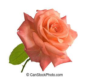 роза, белый, день, задний план, mothers