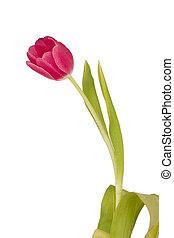 розовый, весна, тюльпан