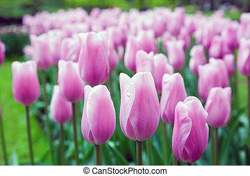 розовый, весна, цветы, романтический