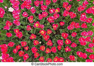 розовый, весна, цветы, сад, тюльпан