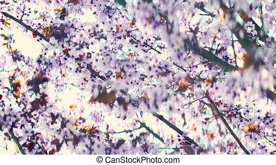 розовый, вишня, цветы, весна, blooming