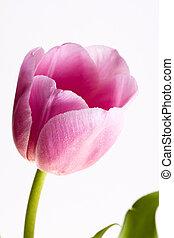 розовый, вырезка, &, падение, isolated, воды, тюльпан, белый, path.