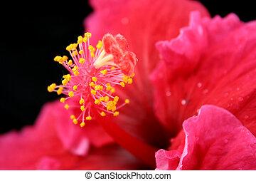 розовый, гибискус