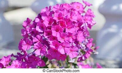 розовый, космос, цветок