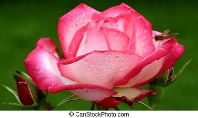 розовый, макрос, выстрел, роза
