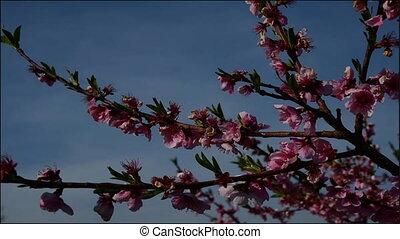 розовый, орнаментальный, цветок, кустарник, персик, timelapse, blossoming, видео, выращивание, background/pink