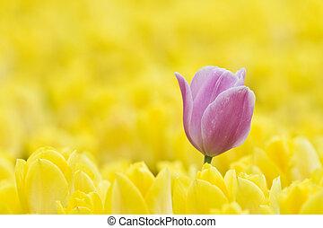 розовый, поле, один, желтый, тюльпан