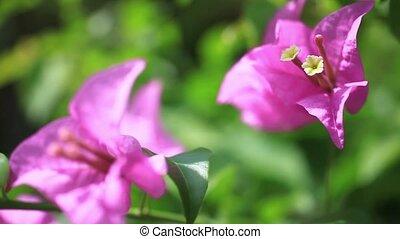 розовый, природа, вверх, задний план, закрыть, цветы