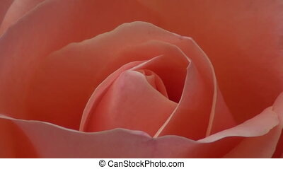 розовый, роза, макрос