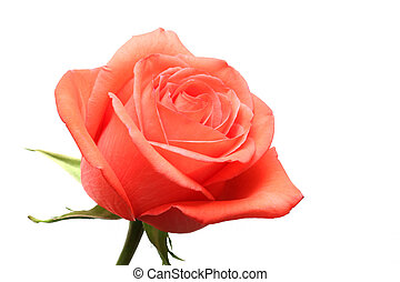 розовый, роза, над, белый