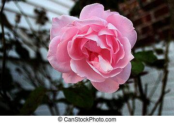 розовый, роза, (top, view)