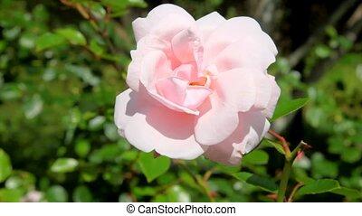 розовый, роза, waiving, ветер