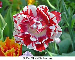 розовый, тюльпан, белый