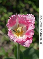 розовый, тюльпан, весна
