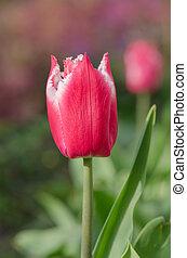 розовый, тюльпан, кумба, попугай