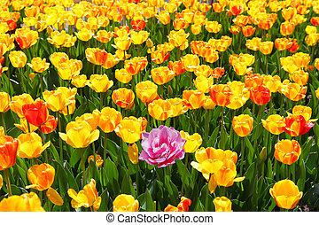 розовый, тюльпан, поле