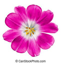 розовый, тюльпан
