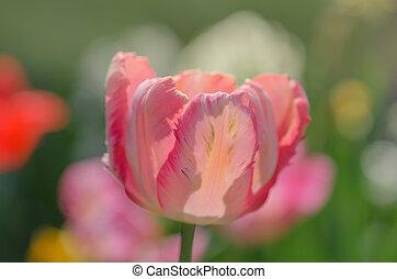 розовый, тюльпан, цветок, сад, попугай