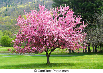 розовый, цветение, дерево