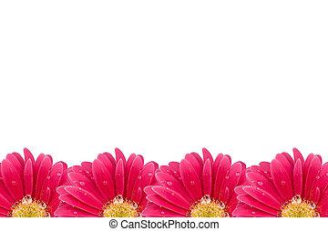 розовый, цветок, gerbera, задний план