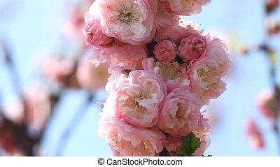 розовый, цветы, sakura, blooming