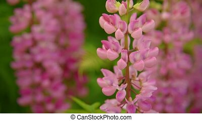 розовый, lupines, цветы