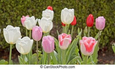 розовый, tulips, красный, белый