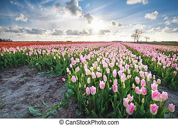 розовый, tulips, солнечный свет, красный, весна
