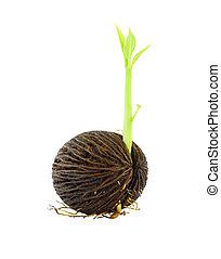 росток, othalanga, молодой, background., семя, белый