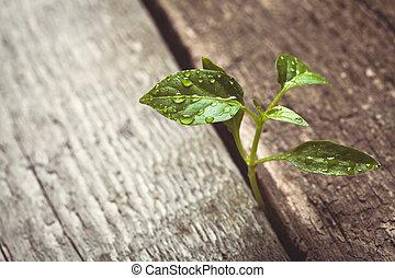 росток, sprouting, через, , деревянный, пол