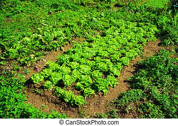 сад, китайский, питание, bed., background., крупным планом, капуста