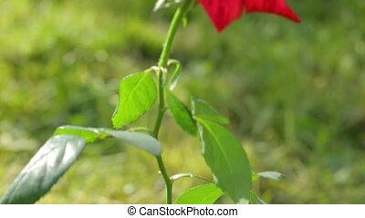 сад, красный, один, роза, выращивание