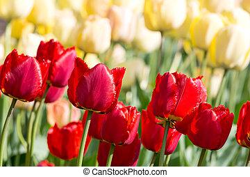 сад, красочный, весна, яркий, blossoms, tulips