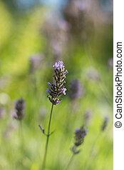 сад, цветок, пурпурный, легкий, мелкий, dof, мягко, против, лаванда, зеленый, задний план, размытый, фон