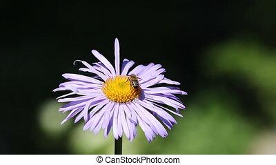 сбор, цветок, нектар, пчела