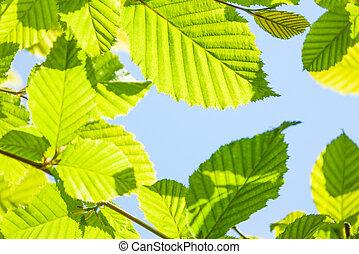 свежий, листва, весна