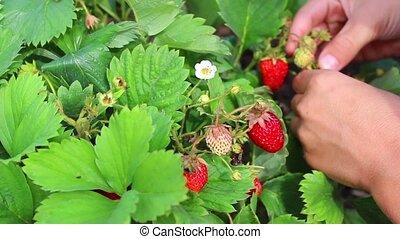 свежий, berries, принимать пищу, сад, ребенок