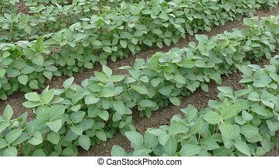 сельское хозяйство, поле, соя, растение