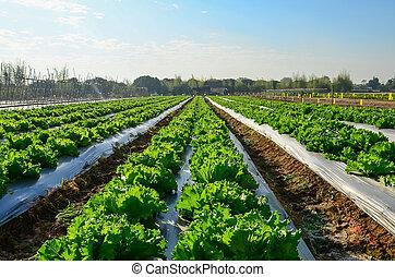 сельскохозяйственное, industry., выращивание, салат, салат, на, поле