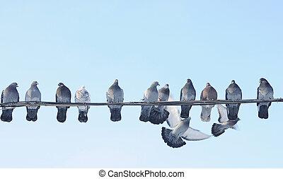 сидеть, голубь, tries, летающий, провод