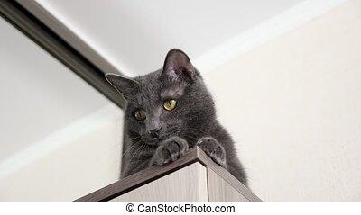 сидящий, красивая, прут, интерес, кот, движение, кабинет, observes, серый