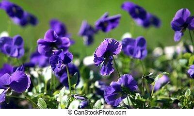 синий, анютины глазки, цветы, выстрел, макрос