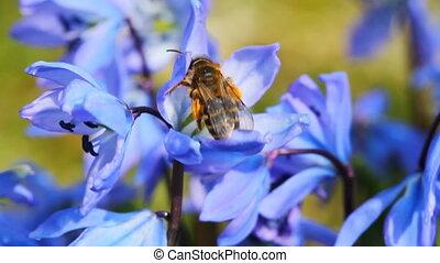 синий, весна, макрос, цветы, пчела