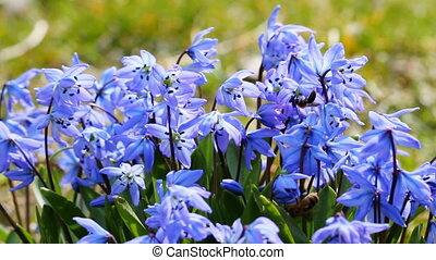 синий, весна, цветы