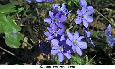 синий, весна, -, snowdrops, цветы, первый
