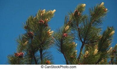 синий, ветви, cones, sky., чисто, tops, молодой, сосна, зеленый, против
